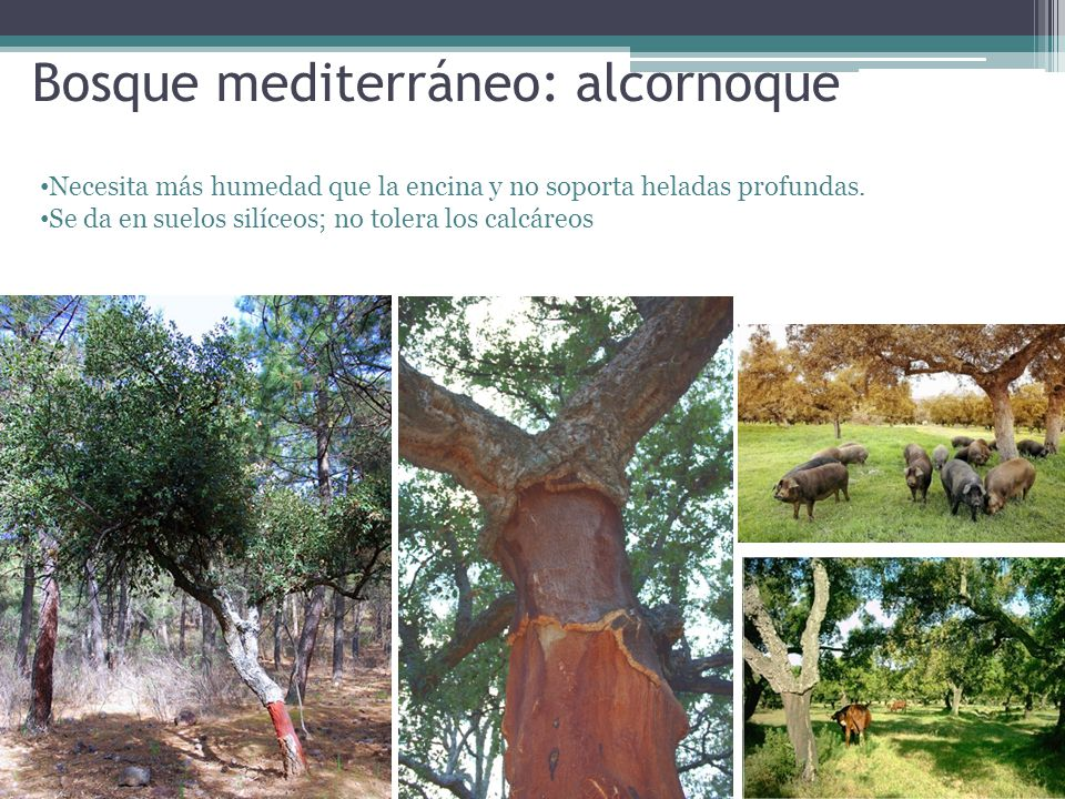 Bosque mediterráneo: alcornoque