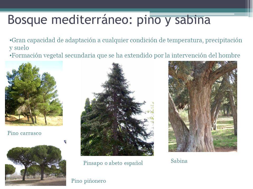 Bosque mediterráneo: pino y sabina