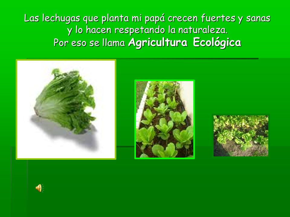 Las lechugas que planta mi papá crecen fuertes y sanas y lo hacen respetando la naturaleza.