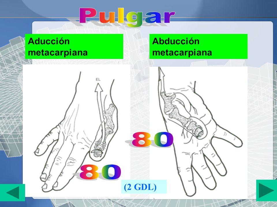 Pulgar Aducción metacarpiana Abducción metacarpiana 80 80 (2 GDL)