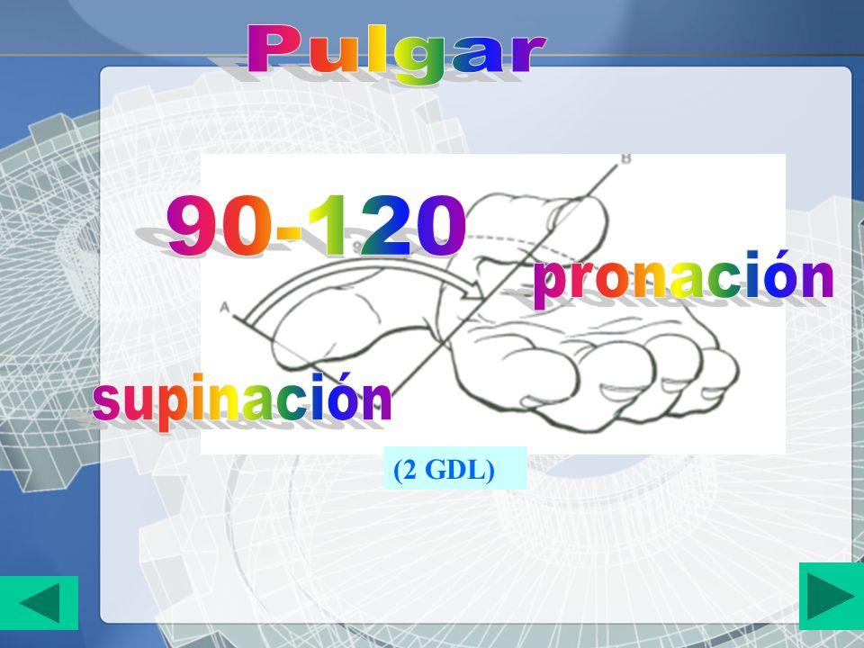 Pulgar 90-120 pronación supinación (2 GDL)