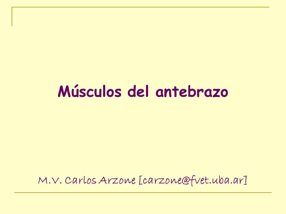 Músculos del antebrazo