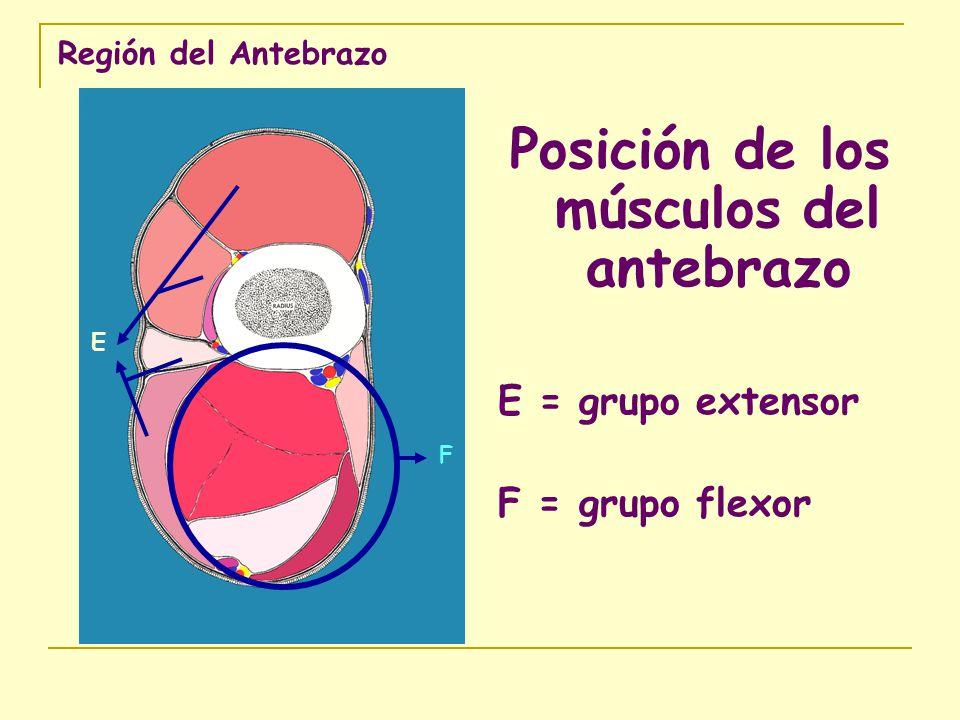 Posición de los músculos del antebrazo