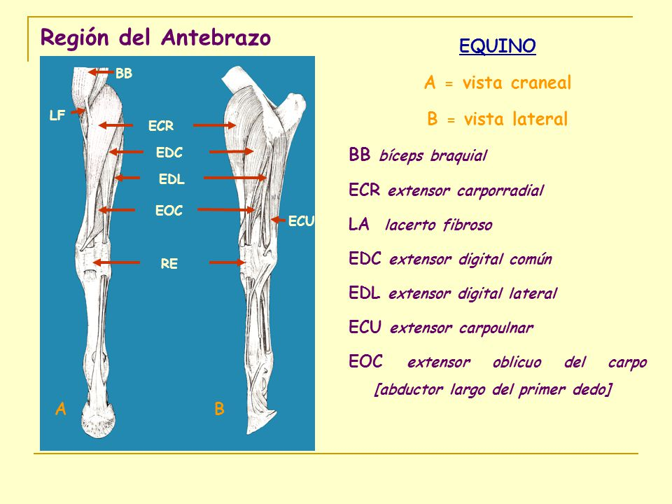 Región del Antebrazo EQUINO A = vista craneal B = vista lateral