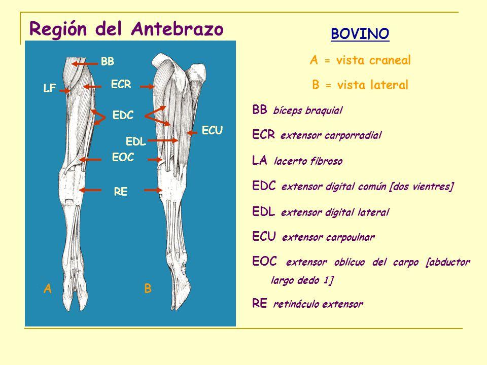 Región del Antebrazo BOVINO A = vista craneal B = vista lateral
