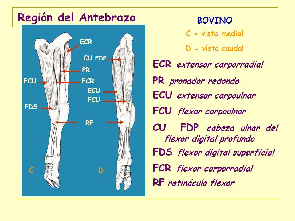 Región del Antebrazo ECR extensor carporradial PR pronador redondo