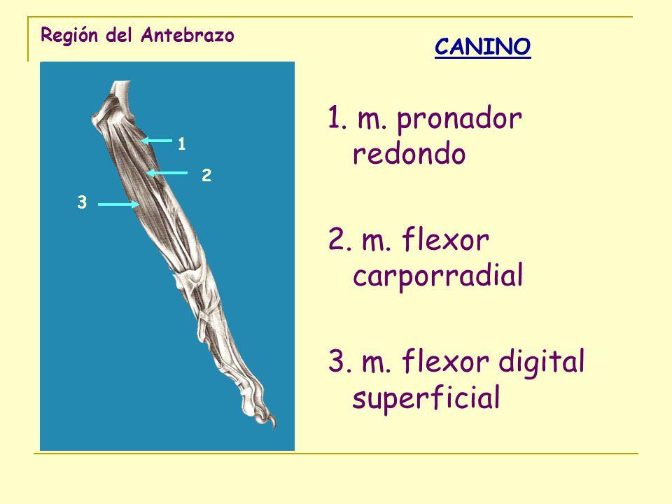 3. m. flexor digital superficial