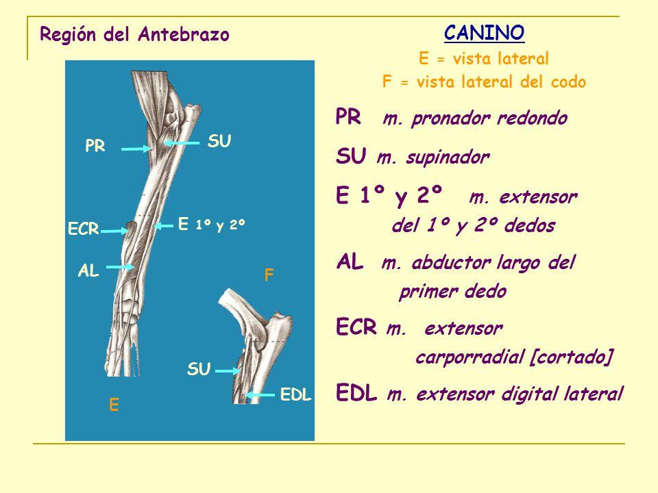 F = vista lateral del codo