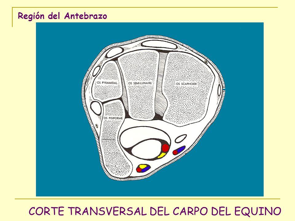 CORTE TRANSVERSAL DEL CARPO DEL EQUINO