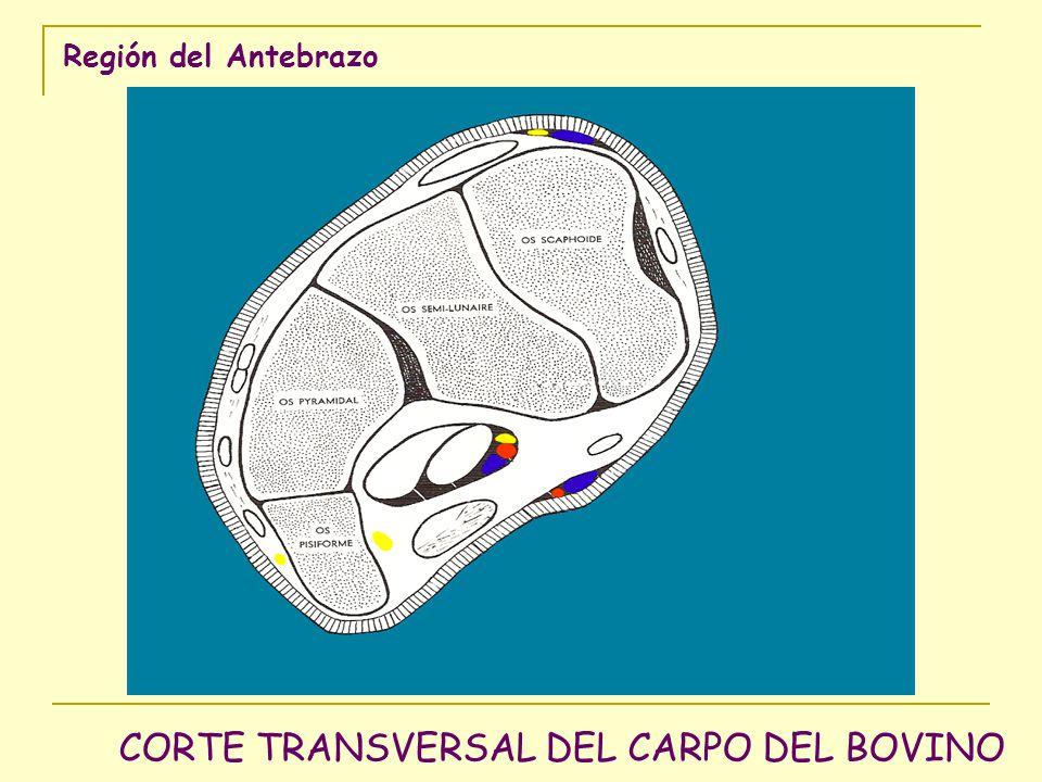 CORTE TRANSVERSAL DEL CARPO DEL BOVINO