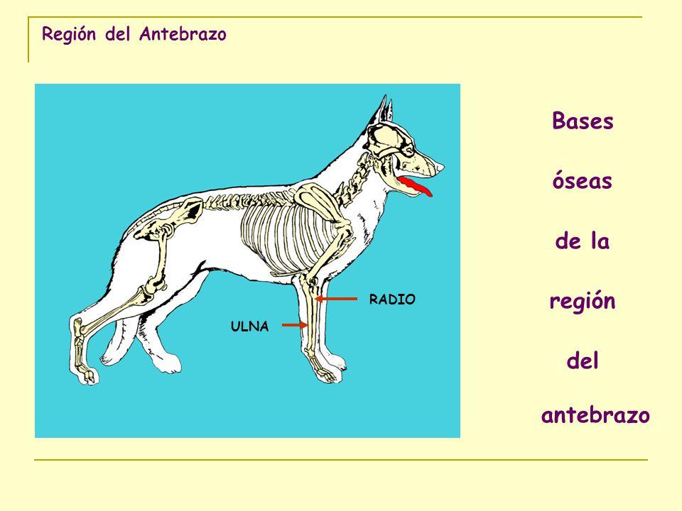 Bases óseas de la región del antebrazo