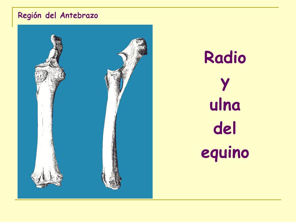 Región del Antebrazo Radio y ulna del equino