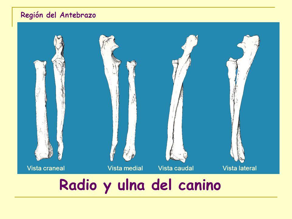 Radio y ulna del canino Región del Antebrazo Vista craneal