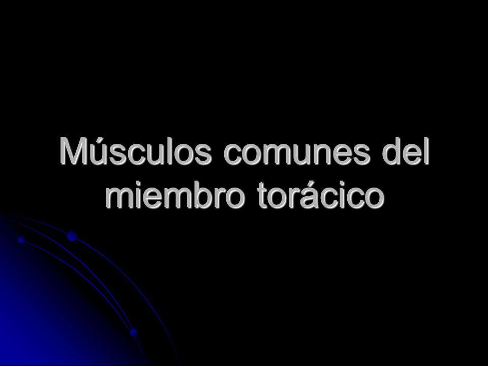 Músculos comunes del miembro torácico