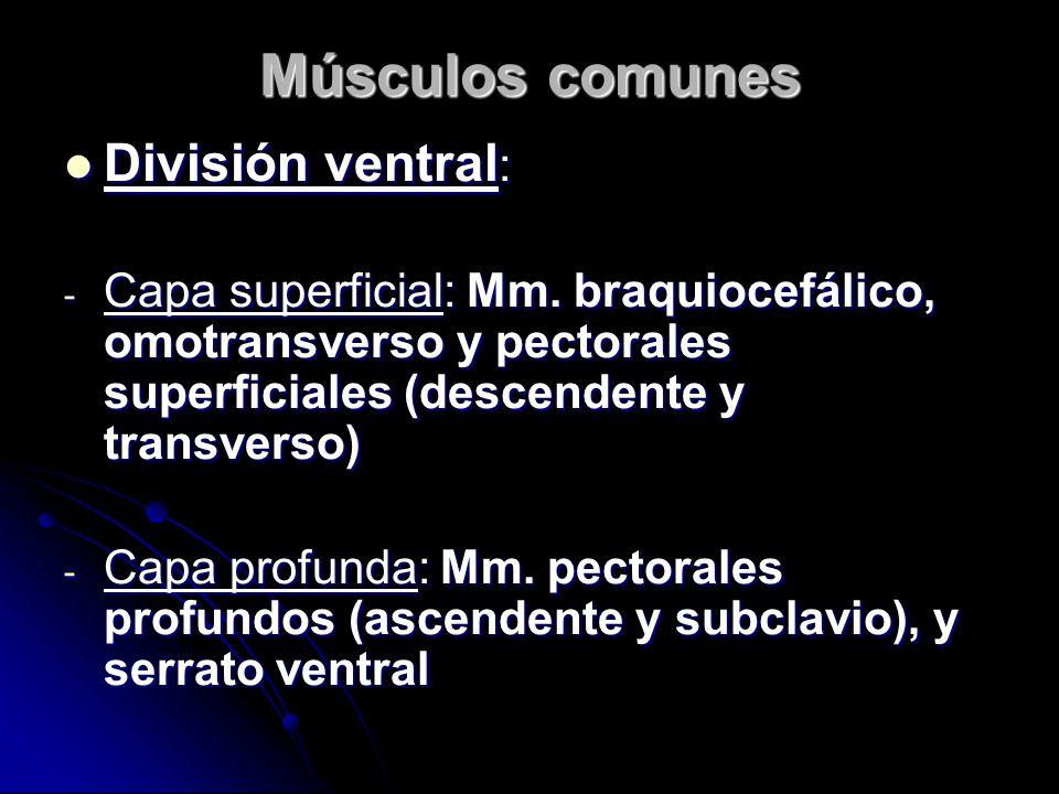 Músculos comunes División ventral: