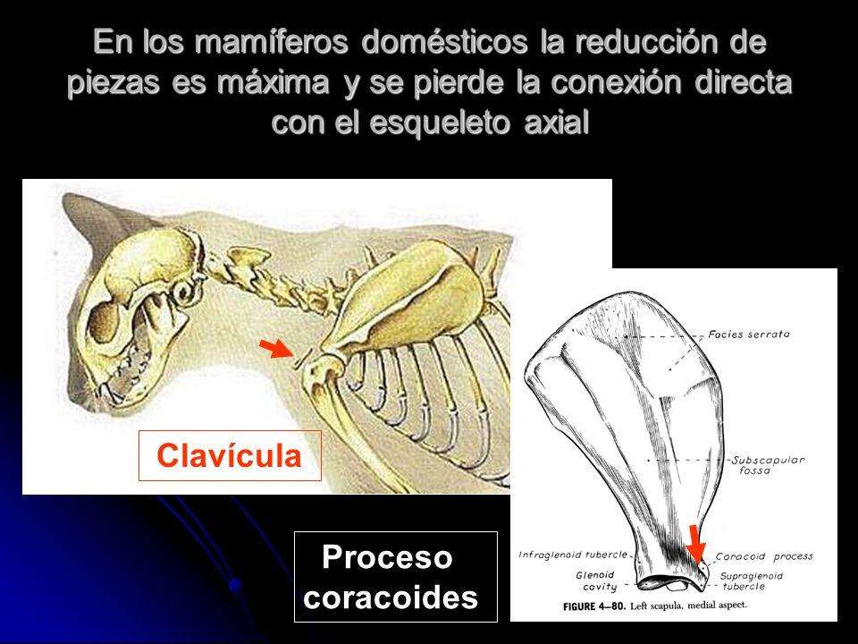 En los mamíferos domésticos la reducción de piezas es máxima y se pierde la conexión directa con el esqueleto axial