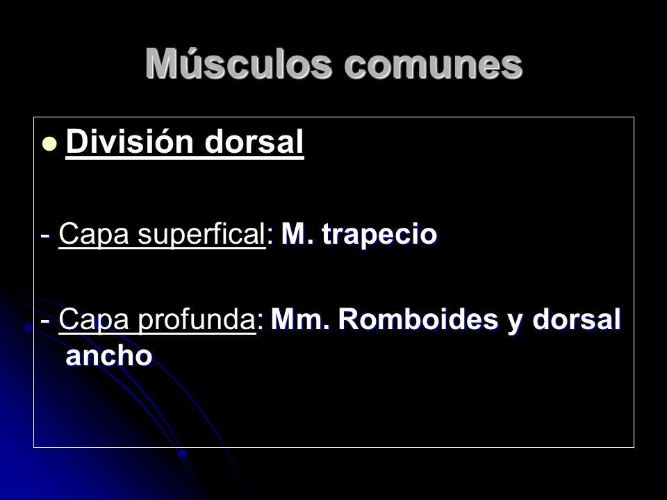 Músculos comunes División dorsal - Capa superfical: M. trapecio