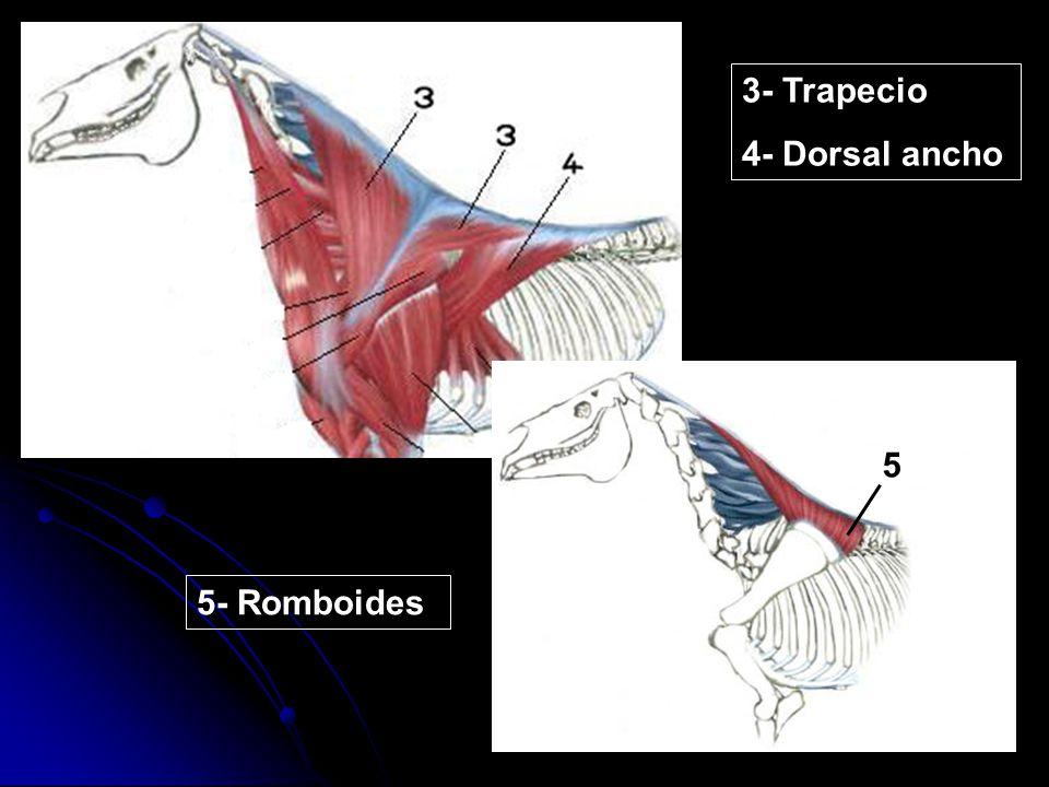3- Trapecio 4- Dorsal ancho 5 5 5- Romboides