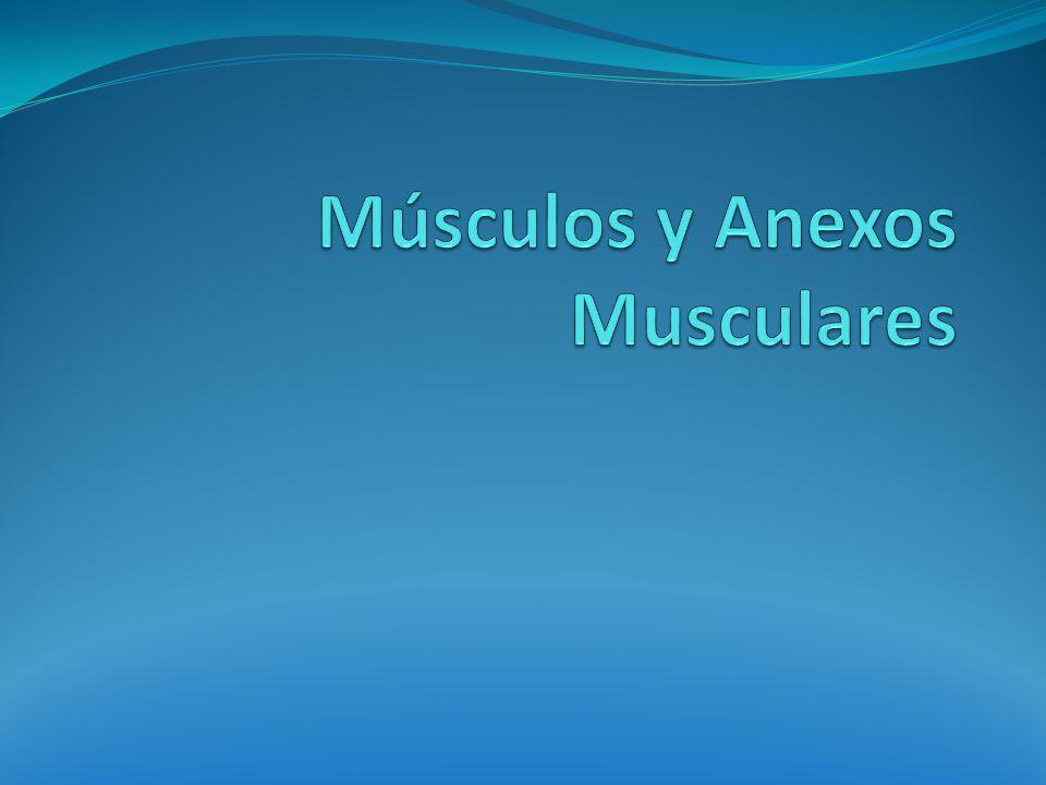 Músculos y Anexos Musculares
