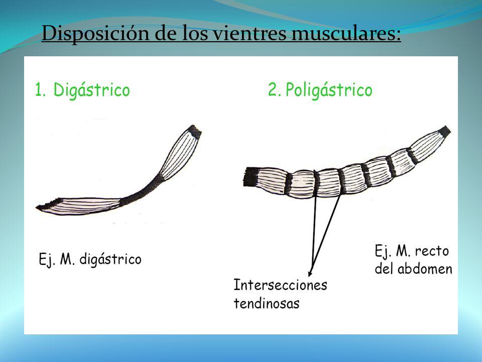 Disposición de los vientres musculares: