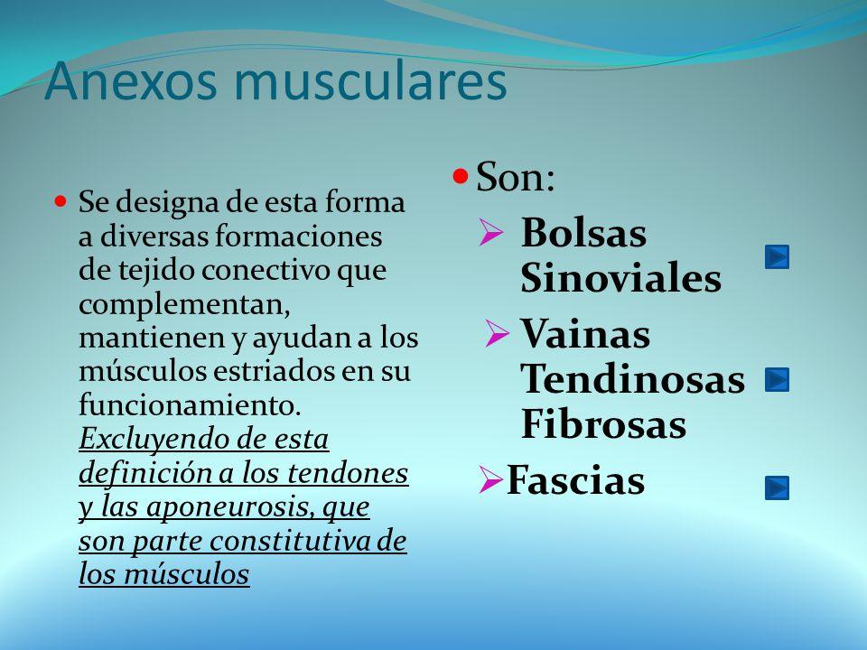 Anexos musculares Son: Bolsas Sinoviales Vainas Tendinosas Fibrosas