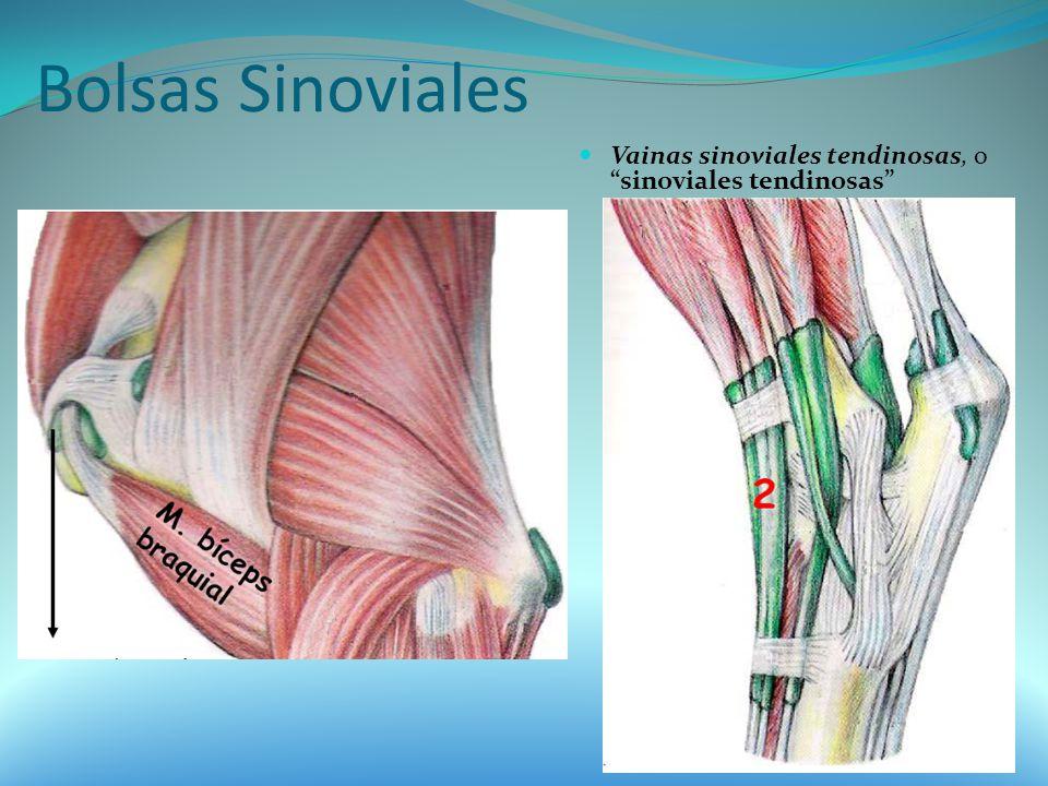 Bolsas Sinoviales Vainas sinoviales tendinosas, o sinoviales tendinosas