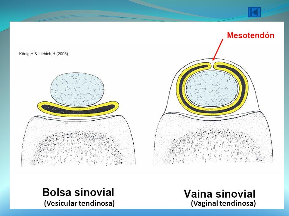 (Vesicular tendinosa)