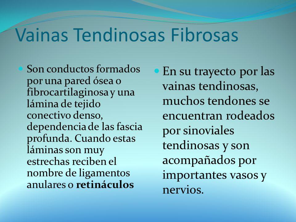 Vainas Tendinosas Fibrosas