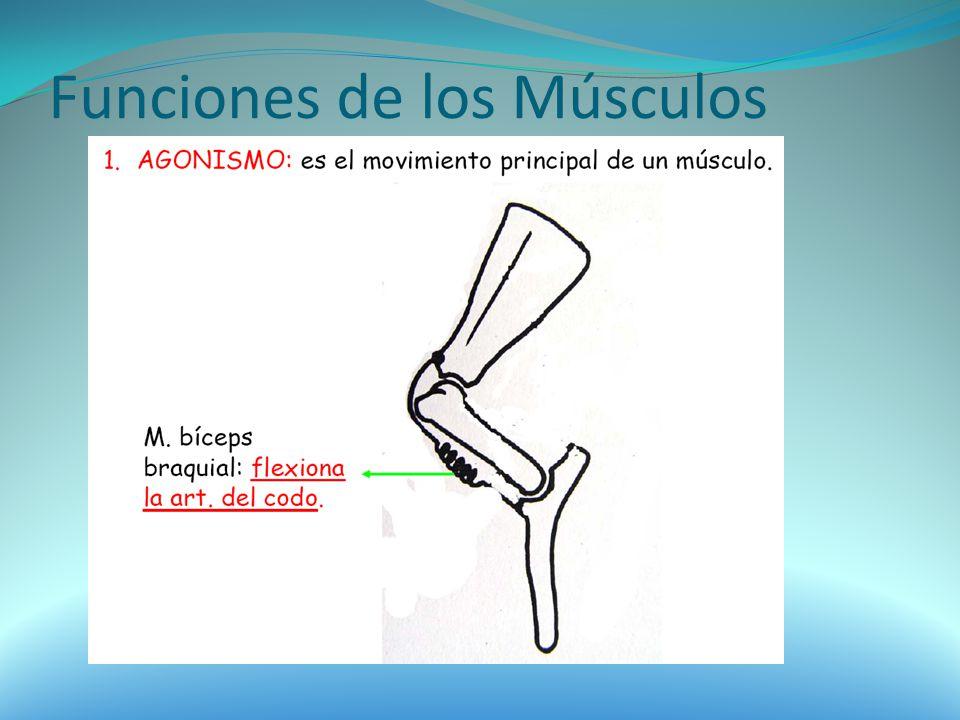 Funciones de los Músculos