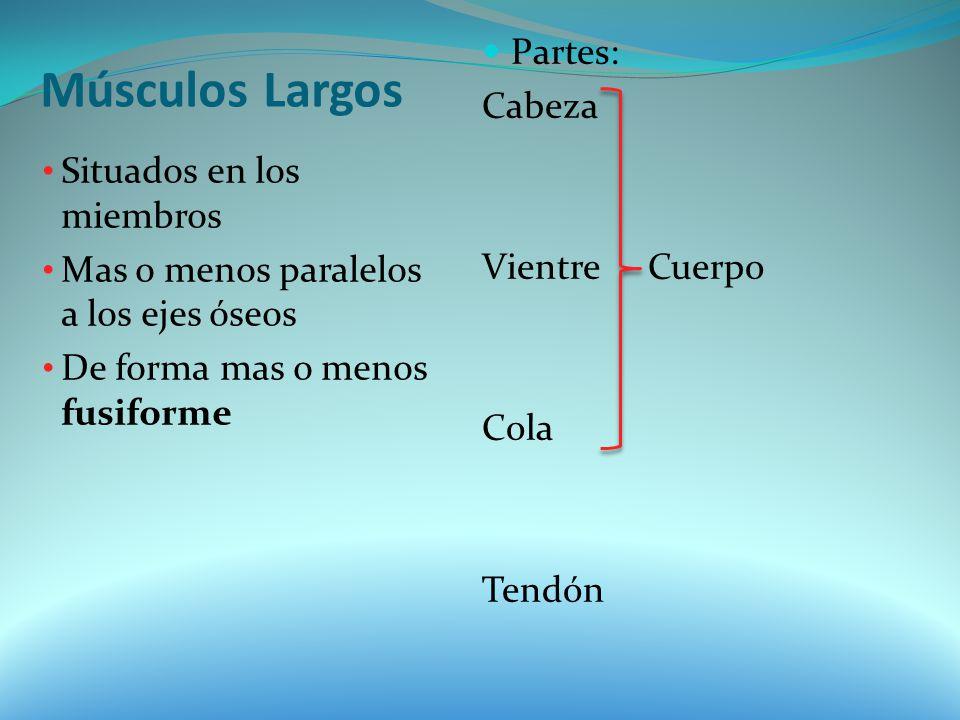 Músculos Largos Partes: Cabeza Vientre Cuerpo Situados en los miembros