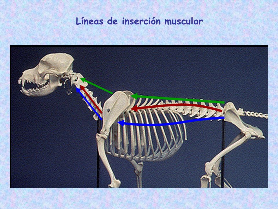 Líneas de inserción muscular