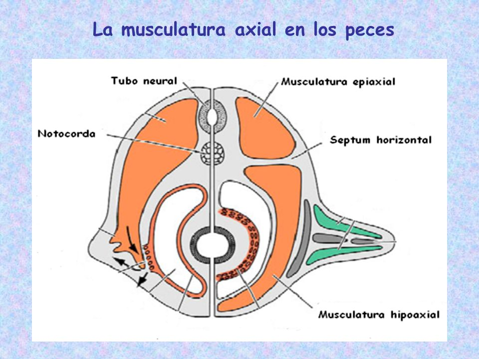 La musculatura axial en los peces
