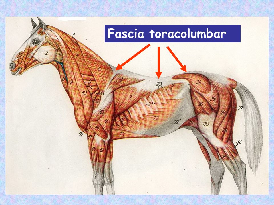 Fascia toracolumbar