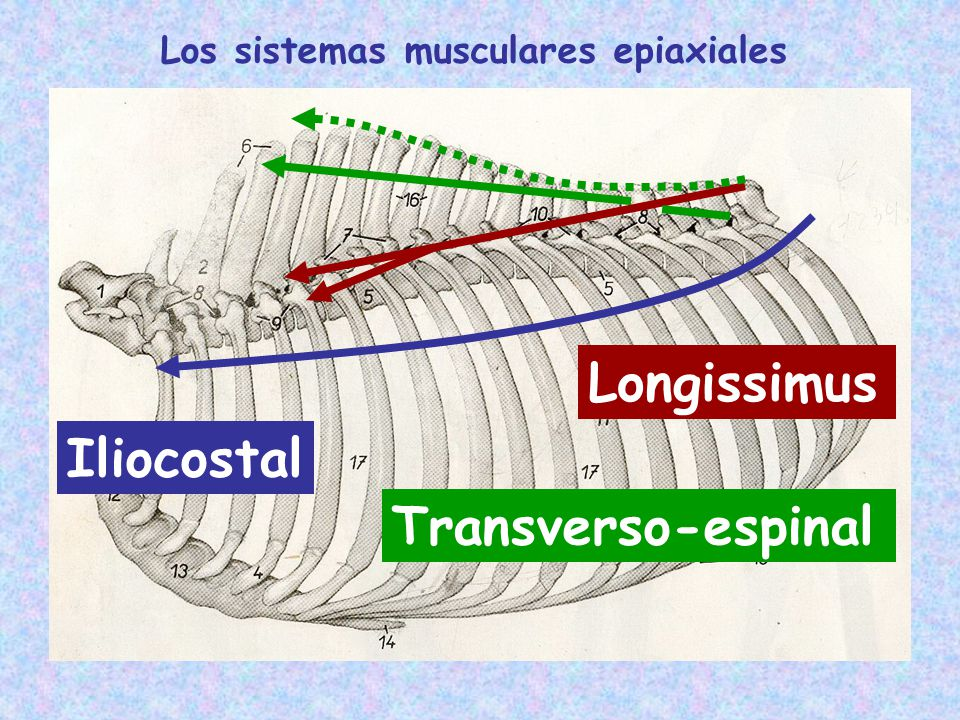 Los sistemas musculares epiaxiales