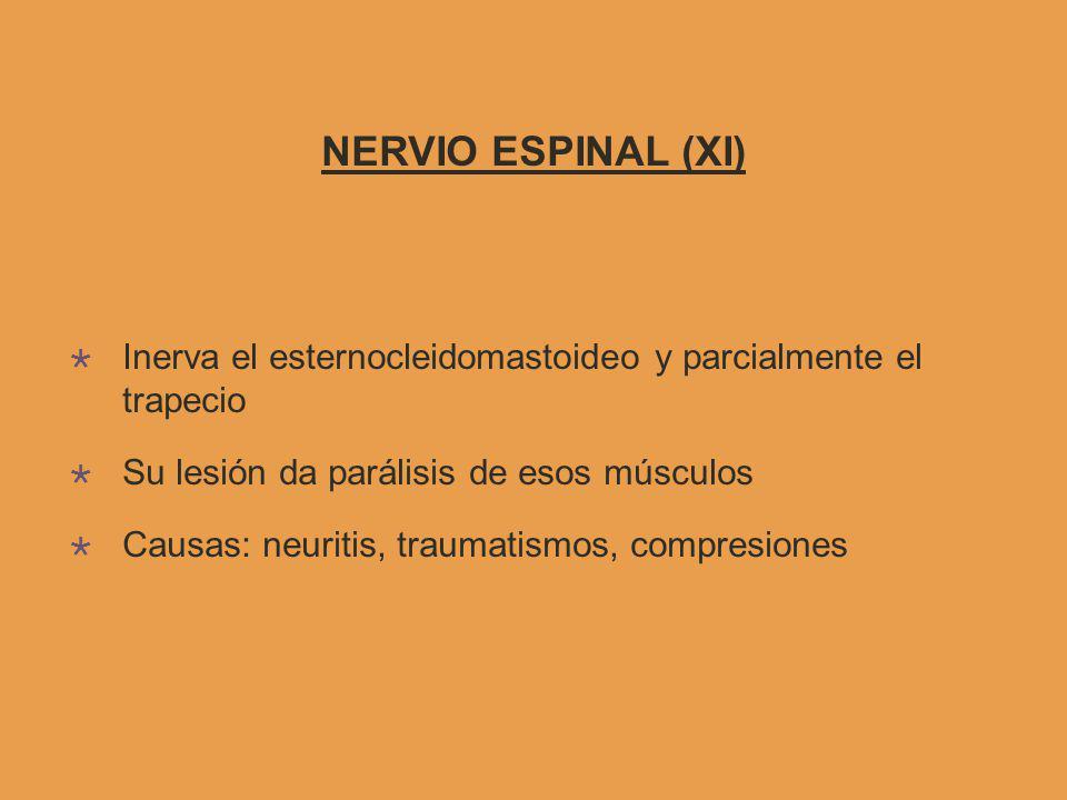 NERVIO ESPINAL (XI) Inerva el esternocleidomastoideo y parcialmente el trapecio. Su lesión da parálisis de esos músculos.