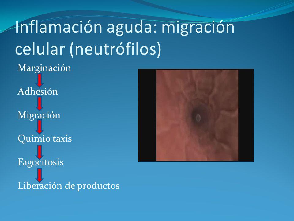 Inflamación aguda: migración celular (neutrófilos)