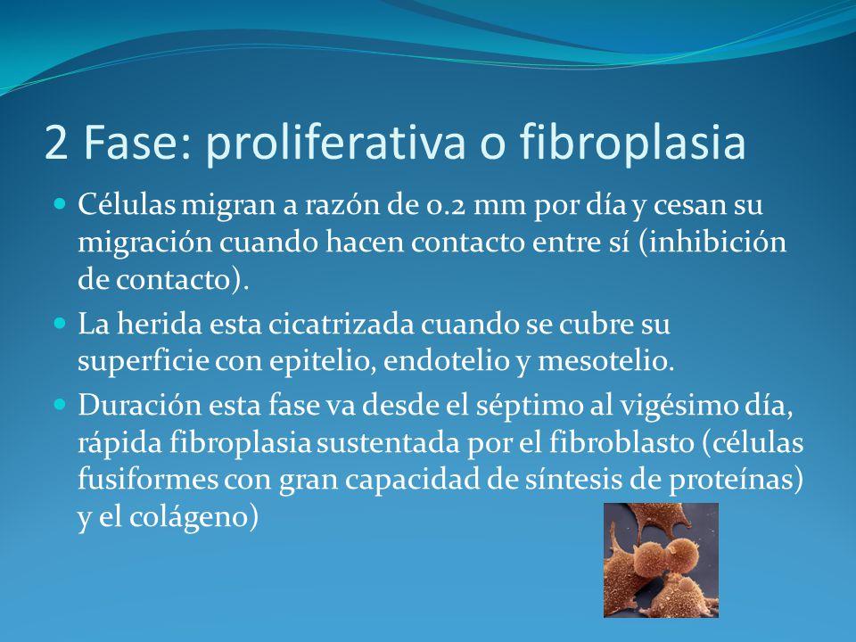 2 Fase: proliferativa o fibroplasia