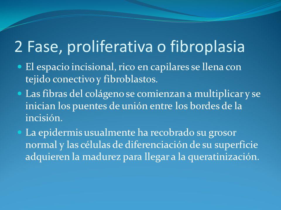 2 Fase, proliferativa o fibroplasia