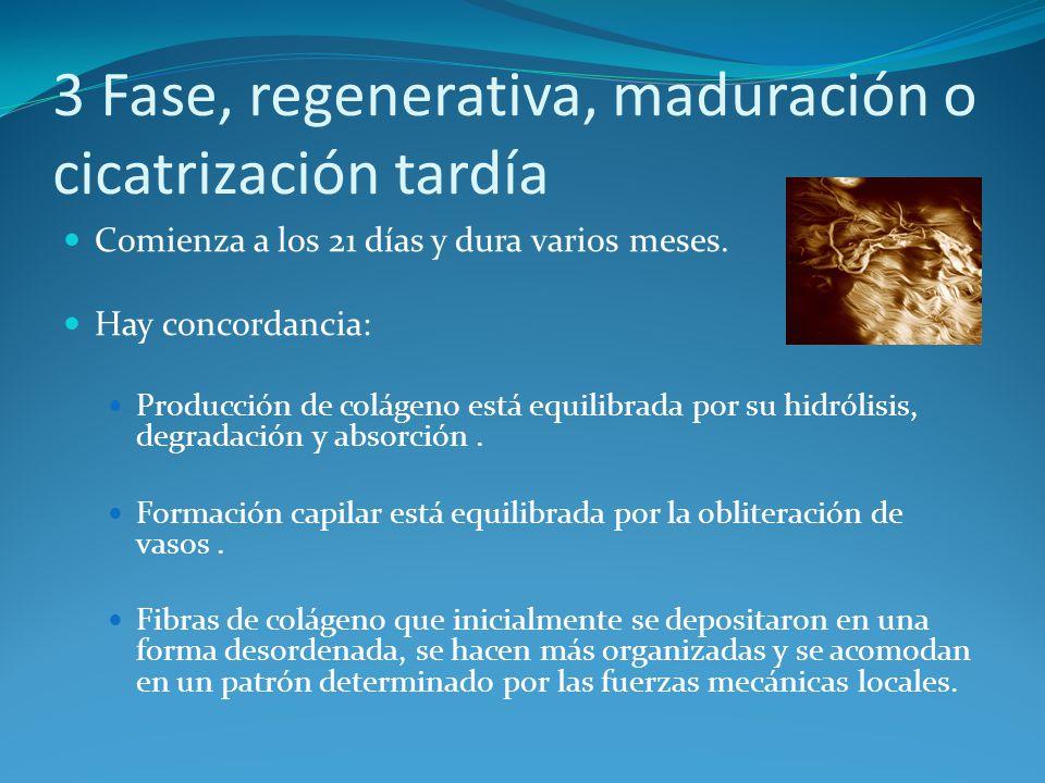 3 Fase, regenerativa, maduración o cicatrización tardía