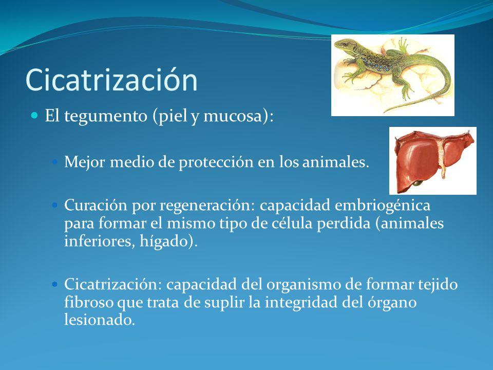 Cicatrización El tegumento (piel y mucosa):