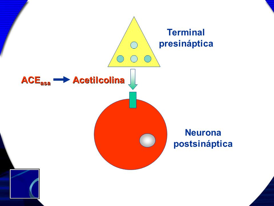 Terminal presináptica ACEasa Acetilcolina Neurona postsináptica