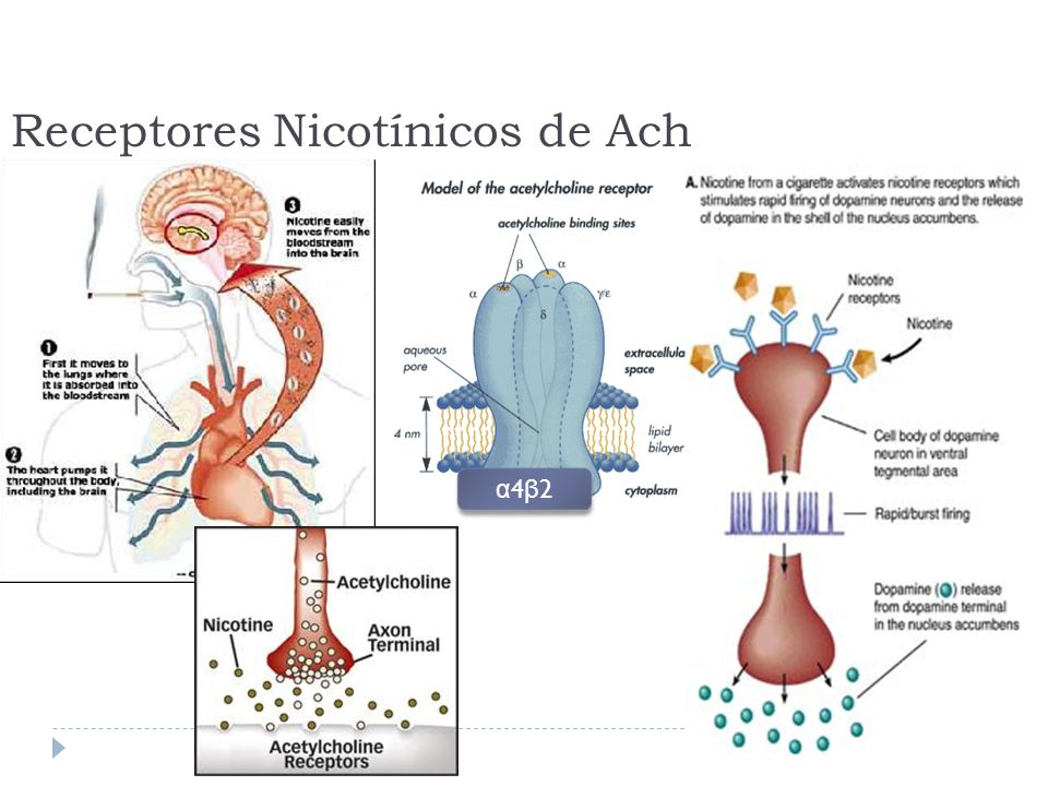 Receptores Nicotínicos de Ach
