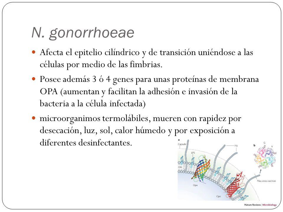 N. gonorrhoeae Afecta el epitelio cilíndrico y de transición uniéndose a las células por medio de las fimbrias.