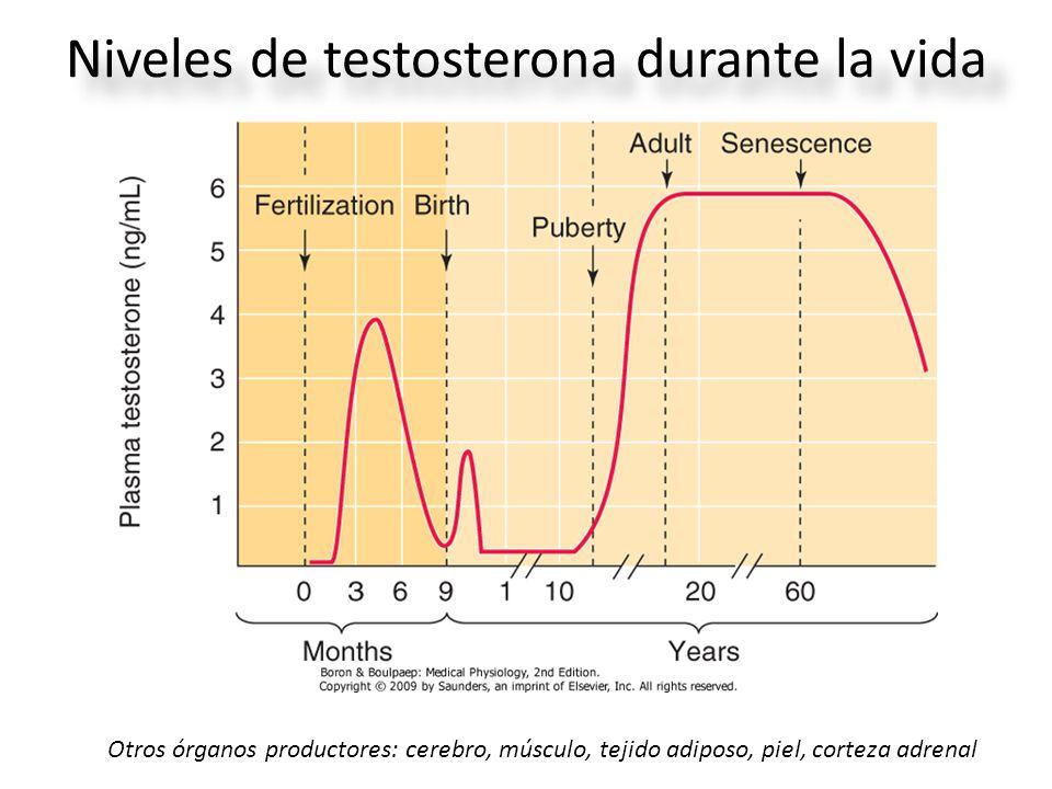 Niveles de testosterona durante la vida