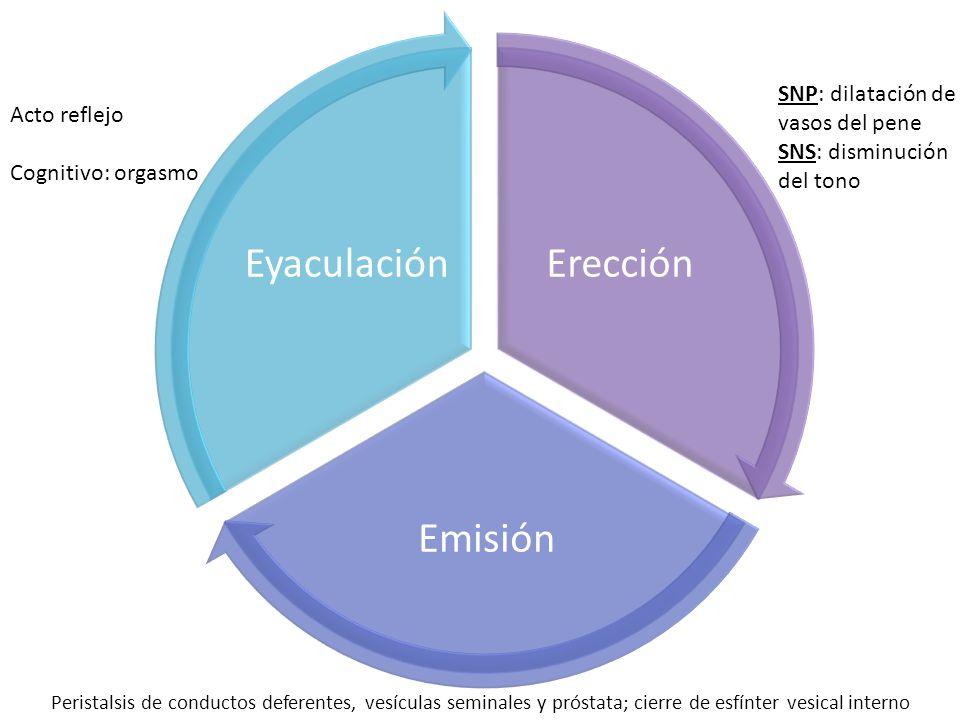 Erección Emisión Eyaculación SNP: dilatación de vasos del pene