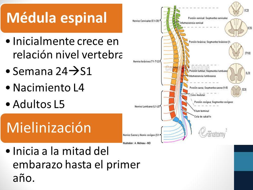 Médula espinal Mielinización