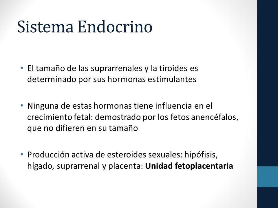 Sistema Endocrino El tamaño de las suprarrenales y la tiroides es determinado por sus hormonas estimulantes.