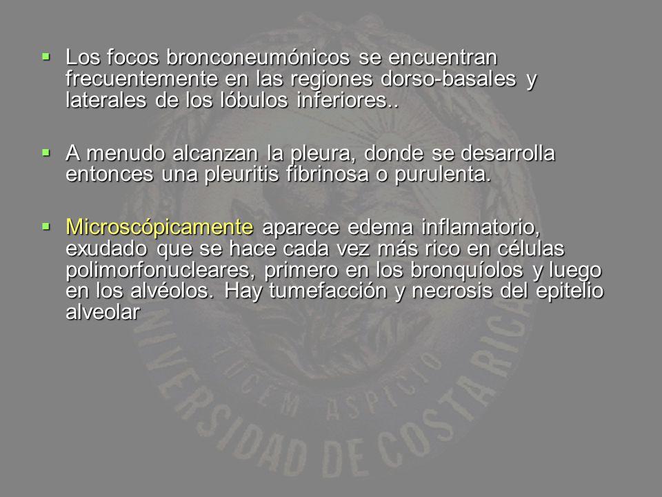Los focos bronconeumónicos se encuentran frecuentemente en las regiones dorso-basales y laterales de los lóbulos inferiores..