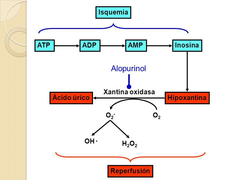 Alopurinol Isquemia ATP ADP AMP Inosina Xantina oxidasa Ácido úrico
