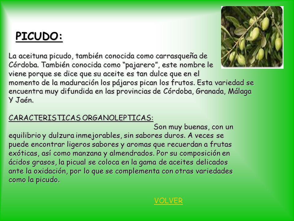 PICUDO: La aceituna picudo, también conocida como carrasqueña de